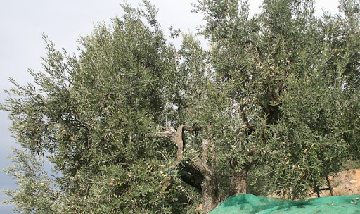 Exemplar d'olivera de la varietat Sarrut. Foto: culturestrobades.cat