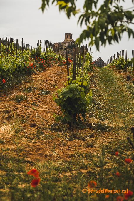 Vinyes del Celler Rubió de Sòls i al fons el turó on s'ubica el castell de Rubió de Baix. Foradada, La Noguera. Lleida, Catalunya. Montsec de Rúbies (o de Meià).
