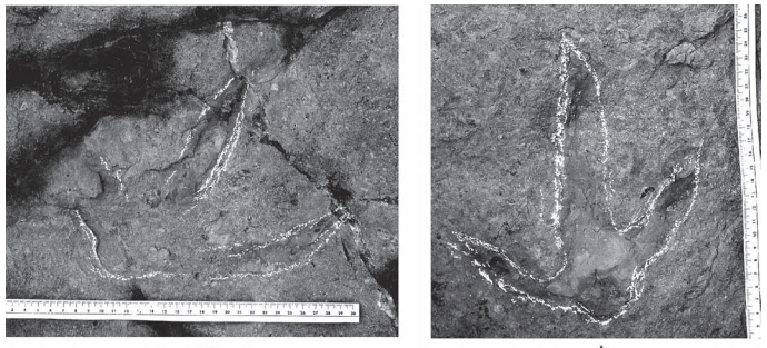 """Icnites del jaciment anomenat """"Moror A"""", de dinosaures terópodes. Moror, Sant Esteve de la Sarga. Pallars Jussà, Lleida. Catalunya. Montsec d'Ares."""